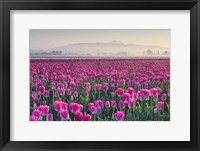 Framed Sunrise Over The Skagit Valley Tulip Fields, Washington State