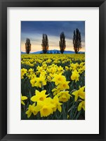 Framed Fields Of Yellow Daffodils In Late March, Skagit Valley, Washington State