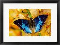 Framed Charaxes Smaragdalis Butterfly On Large Golden Cymbidium Orchid