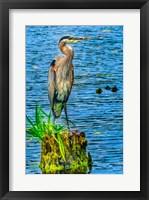 Framed Great Blue Heron, Juanita Bay Park, Kirkland, Washington State