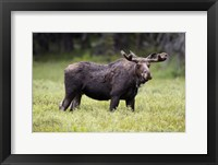 Framed Wyoming, Yellowstone National Park Bull Moose With Velvet Antlers