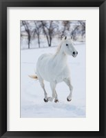 Framed White Horse Running In The Snow