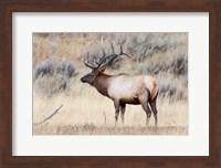 Framed Portrait Of A Bull Elk With A Large Rack