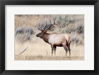 Framed Portrait Of A Bull Elk With A Large Rack