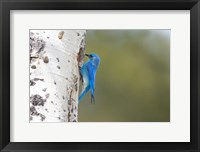 Framed Male Mountain Bluebird Perching At Its Nest Hole