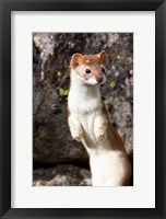 Framed Portrait Of A Long-Tailed Weasel