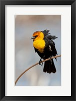 Framed Yellow-Headed Blackbird Perched On A Reed