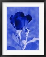 Framed Cobalt Rosebud