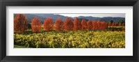 Framed Crop In A Vineyard, Napa Valley, California