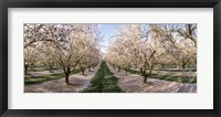 Framed Almond Trees In An Orchard, Central Valley, California