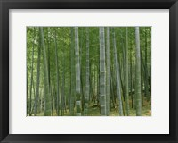 Framed Bamboo Trees In A Forest, Fukuoka, Japan