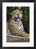 Framed Close-Up Of A Jaguar Snarling