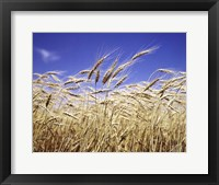 Framed Close-Up Of Heads Of Wheat Stalks Against Blue Sky