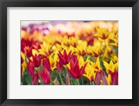Framed Tulip Blooming In A Garden, Washington State
