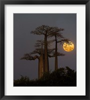 Framed Baobabs And Moon, Morondava, Madagascar