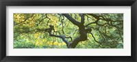 Framed Close Up Of Japanese Maple Branches, Portland Japanese Garden