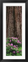 Framed Blooming Rhododendron Below Giant Redwood, Trinidad, California