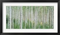 Framed Early Autumn Aspens