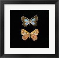 Framed Pair of Butterflies on Black