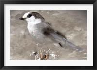 Framed Grey Jay I