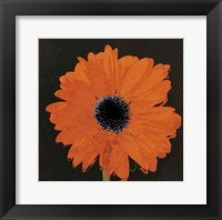 Framed Midnight Gerbera I