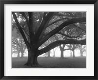 Framed Oak Grove in Fog (black & white)
