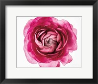 Framed Pink Ranunculus on White Crop