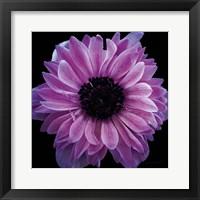 Framed Purple Anemone Crop
