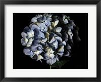 Framed Pale Blue Hydrangea