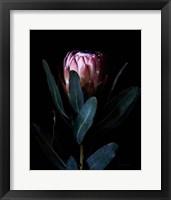 Framed Protea Portrait