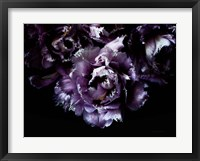 Framed Purple Fringed Tulips II