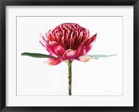 Framed Waratah Flower