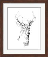 Framed Young Buck Sketch I