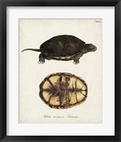 Framed Antique Turtles & Shells II