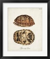 Framed Antique Turtles & Shells III