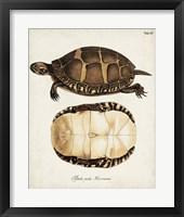 Framed Antique Turtles & Shells IV