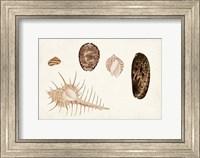Framed Antique Shell Anthology III
