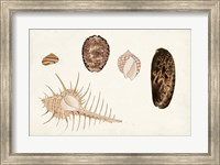 Framed Antique Shell Anthology III