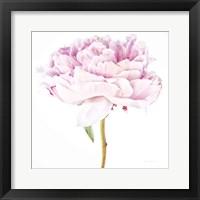 Framed Single Pink Peony