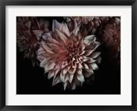 Framed Peach Dahlias