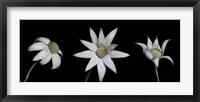 Framed Flannel Flower Trio