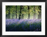 Framed Last of The Bluebells