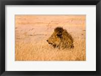 Framed King of the Pride