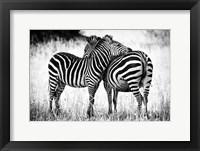 Framed Zebra Love