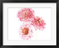Framed Pink Scabiosa Trio