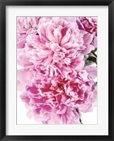 Framed Pink Peony Cluster