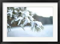 Framed Frosted White Pine
