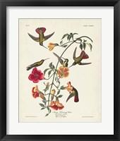 Framed Pl 184 Mango Hummingbird