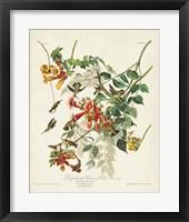 Framed Pl 47 Ruby-throated Hummingbird