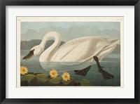 Framed Pl 411 Common American Swan